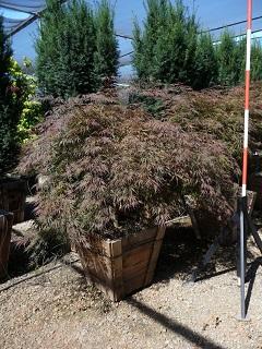 Acer Palmatum Var Dissectum Tamukeyama